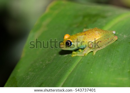 Green bright-eyed frog, (Boophis viridis), is a species of frog in the family Mantellidae endemic to Madagascar. Andasibe National Park, Madagascar wildlife and wilderness