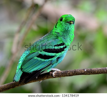 Green Broadbill, bird in vivid green color looks as leafs, calptomena viridis, great bird of Thailand and asia
