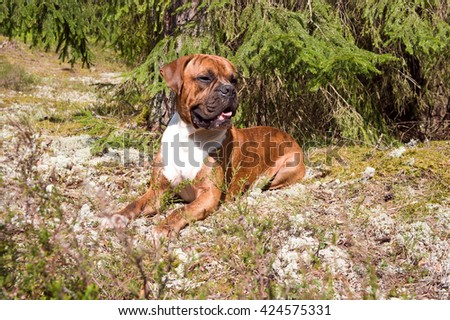 green,brown,outdoors,one, nature, white, young, beautiful, tree, grass, funny, cute, black, breed, animals, wood, dog, coniferous, attentive, boxer, pedigreed, strips, lies,