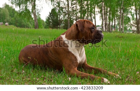 green, brown, trees, outdoors, one, nature, white, young, beautiful, spring, grass,  funny, cute, color, black, breed, animals, dog, birch,  german  boxer, tree pedigreed, strips,  lies, spring - stock photo