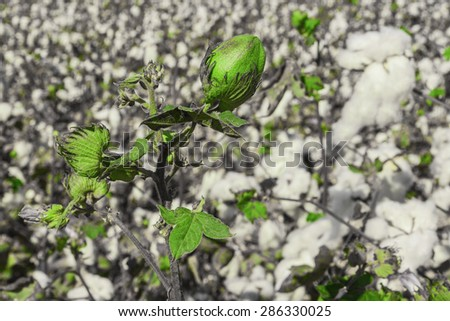 Green bud of cotton on a field of ripe cottons bush - stock photo