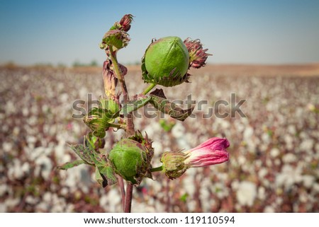 Green bud of cotton with pink flower on a field
