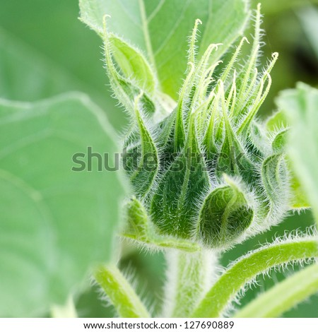 Green bud sunflower close up - stock photo