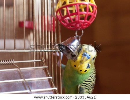 Green budgerigar and bell. Domestic budgie sitting with his toy friend. - stock photo