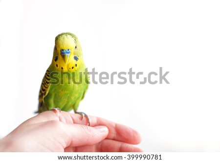 Green Budgerigar (domestic budgie) parrot sits on human hand isolated on white background - stock photo