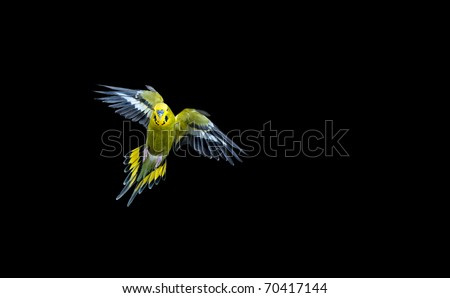 Green budgie flying with his wings spread - stock photo