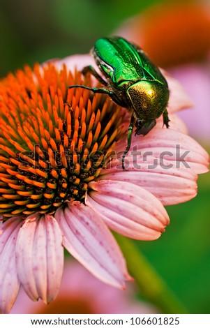 Green bug on echinacea flower - stock photo