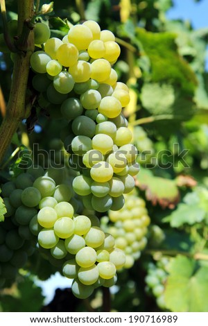 green bunch of grapes on vineyard - stock photo