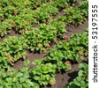 green bush of  red  strawberry - stock photo