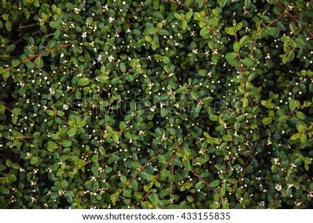 Green bush with small leaves background
