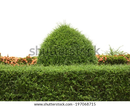 Green bush with wall isolated on white background. - stock photo