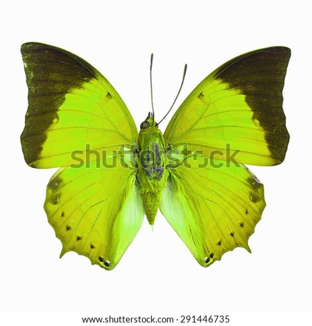 Green butterfly, Common Tawny Rajah (Charaxes bemardus) in fancy color profile, isolated on white background