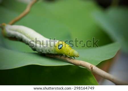 green butterfly worm on green leave