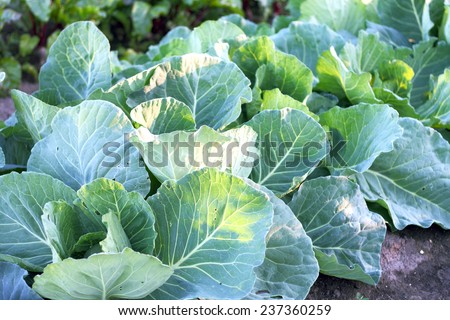 green cabbage on the bed - stock photo