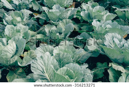 Green cabbages are growing in the garden on fertile soil