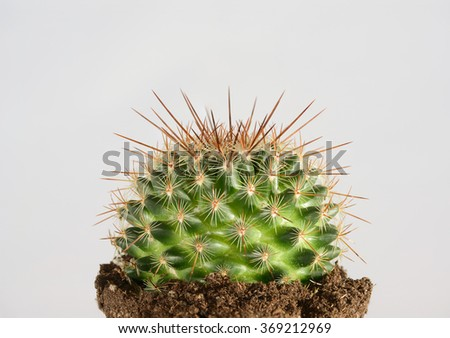 green cactus in potting soil with long thorns against white background - stock photo