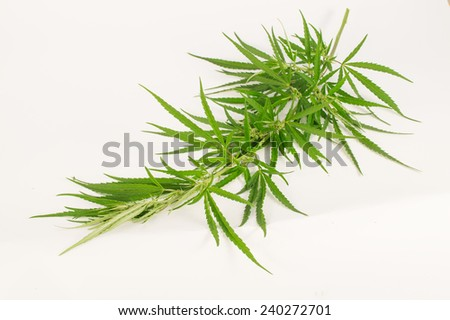 Green cannabis branch on a light background - stock photo