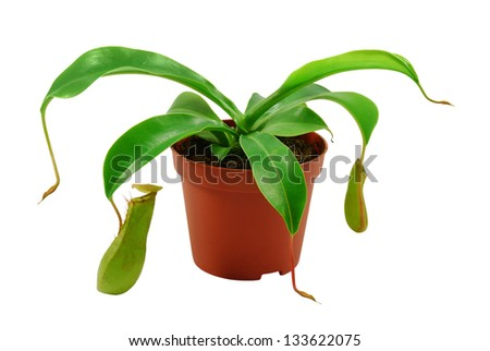 green carnivorous  plant in flowerpot isolated on white - stock photo