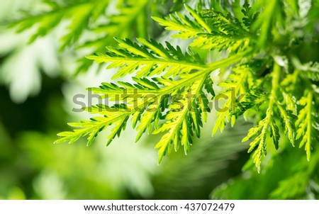 green carrot leaves in nature