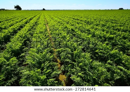 Green carrots field with blue sky. - stock photo