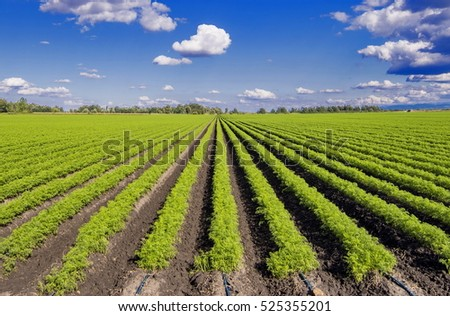 Carrot Field Stock Photos, Royalty-Free Images & Vectors ...