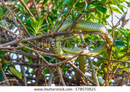Green Cat-eye snake rolling on the branch - stock photo