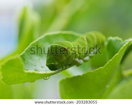 Green caterpillar_Larva of the swallowtail butterfly - stock photo