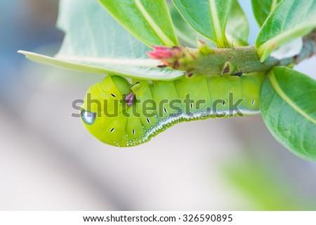 Green Caterpillar on green leaf - stock photo