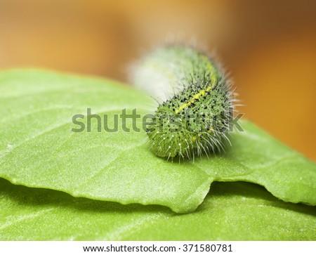 green caterpillar on  green  leaf,pest eating leaf. - stock photo