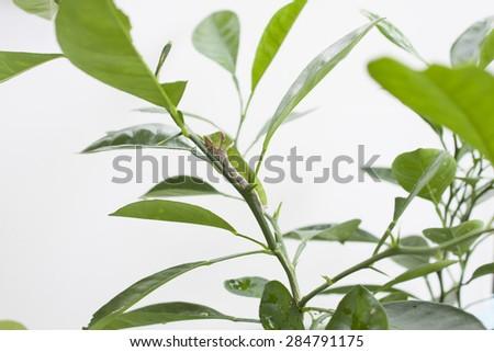 green caterpillar on orange tree. - stock photo