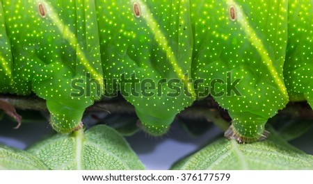 Green caterpillar. (Pachylia ficus)