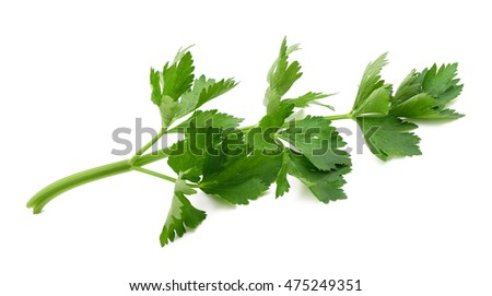 Green celery sprig  isolated on white background