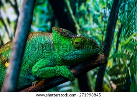 green chameleon - stock photo