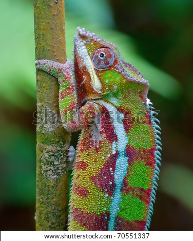 Green chameleon against green leaves of tropical forest - stock photo