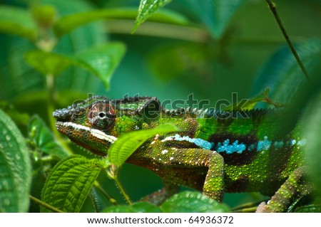 Green chameleon hiding between green leaves, tropical forest, Bali, Indonesia - stock photo