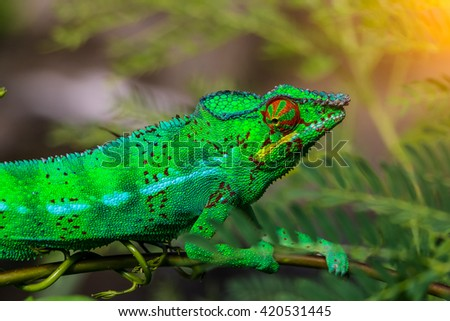Green chameleon on branch closeup. - stock photo