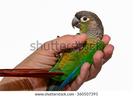 Green Cheek Conure. Parrot. Bird. Isolated parrot