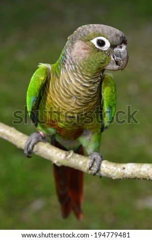 Green Cheek Conure perched on a branch - stock photo