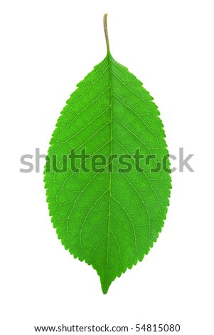 Green cherry leaf isolated on white background - stock photo