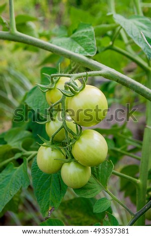 Green cherry tomatoes on branch. Growing cherry tomatoes in the garden. Shallow depth of field. Focus on tomatoes.