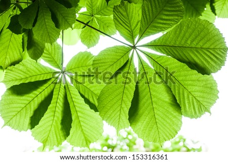 Green chestnut leaf in spring isolated, in front of sky - stock photo