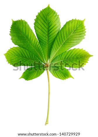 Green chestnut leaf isolated on white - stock photo