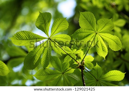 Green Chestnut Leaves in beautiful light - stock photo