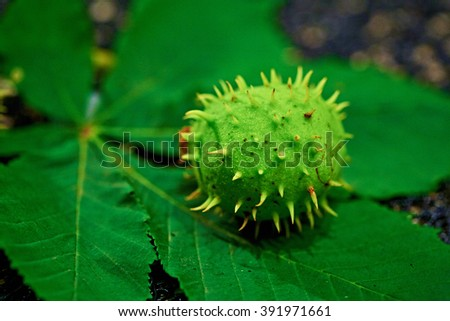 Green Chestnut natural - stock photo