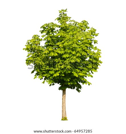 Green chestnut tree isolated on white - stock photo