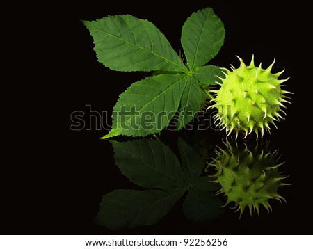 Green chestnuts on the black background - stock photo