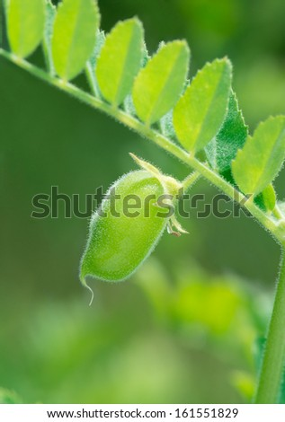 Green chickpea pod close up.