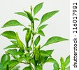 green chilli pepper plant on white background. - stock photo