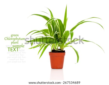 green Chlorophytum plant in the pot