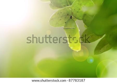 Green chrysalis with sunshine - stock photo